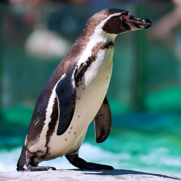 Un pinguino per la strada