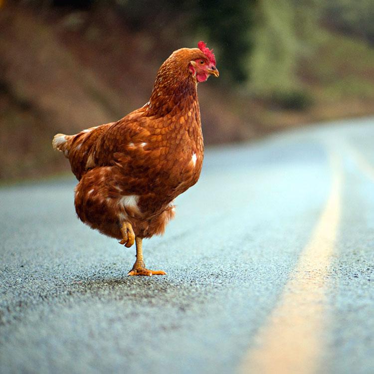 Perché il pollo ha attraversato la strada