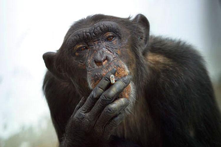 Una scimmia fuma uno spinello